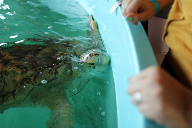 Meeting Turtles at Sea Turtle, Inc. in South Padre Island