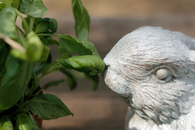 Basil #veggieangie